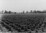 Free Picture of Check Row Cotton Field