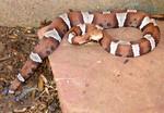 "Free Picture of Venomous ""trans-Pecos"" Copperhead Snake"