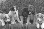 Free Picture of Dog Sled Puppies