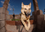 Free Picture of German Shepherd Dog Jumping