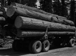 Free Picture of Logging Ponderosa Pine