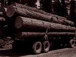 Free Picture of Logging Ponderosa Pine