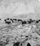 Free Picture of Bison Herd at Yellowstone