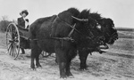 Free Picture of Bison Pulling a Woman in a Cart