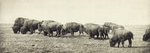 Free Picture of Group of Bison