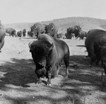 Free Picture of Buffalo Herd