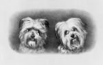 Free Picture of Two Terrier Dogs