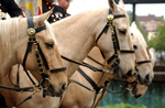 Free Picture of Marine Corps Mounted Color Guard on Palaminos