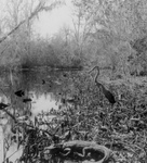 Free Picture of Alligator and Bird in a Swamp
