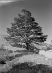 Free Picture of Cedar Tree by Walls