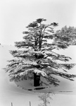 Free Picture of Cedar Tree in Snow