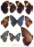 Free Picture of Catoplebea Morpho Butterflies