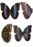 Free Picture of Four Morpho Butterflies