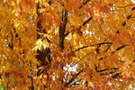 Deciduous Tree in Fall with Orange Leaves