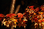 Maple Tree Leaves in Fall Color