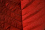 Red Poinsettia Leaf