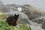 Brownish Black Feral Cat at an Ocean Jetty