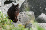Feral Brownish Black Cat Sitting on Boulders at the Coast