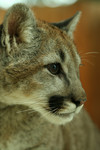 Close-up Cougar Portrait