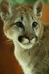Young Cougar Portrait