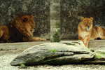Male and Female Lion Laying and Resting Together