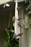 Golden Finches Eating from a Bird Feeder
