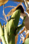 Corn Ear Against Blue Sky
