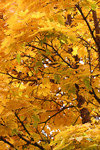 Yellow Fall Colored Leaves