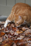 Cat Smelling Fall Leaves On the Ground