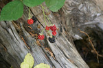 Wild Blackberries Over a Wooden Stump