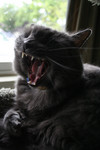 Yawning Gray Cat