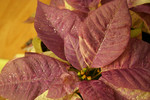 Glittery White Poinsettia Plant Painted Purple
