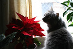 Silver Cat Smelling a Poinsettia Plant