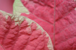 Leaves on a Pink and White Poinsettia Plant