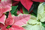 Pink, White and Red Poinsettia Plants