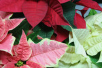 Red, White and Pink Poinsettia Plants