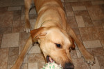 Yellow Lab Playing Tug of War