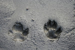 Dog Paw Prints in the Mud