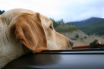 Yellow Lab Dog Sticking His Head Out a Car Window