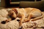 Yellow Lab Dog Sleeping on a Couch