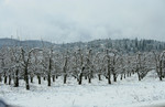 Pear Orchard in Snow, Jacksonville, Oregon