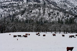 Cows in Snow at Bishop Creek, Ruch, Oregon