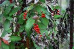 Red Honeysuckle (Lonicera ciliosa) Berries in Autumn