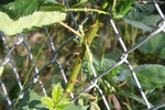 Blackberry Vine Growing Through a Fence
