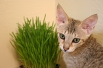 Savannah Kitten With Wheatgrass