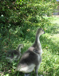 African Goslings in Shade
