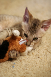 Cat Playing With a Stuffed Dog Toy