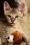 Kitten With a Stuffed Dog Toy