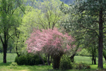 Pink Tamarix Tree