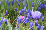 Grape Hyacinths and Anemone Flowers